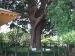 フジの巨木
